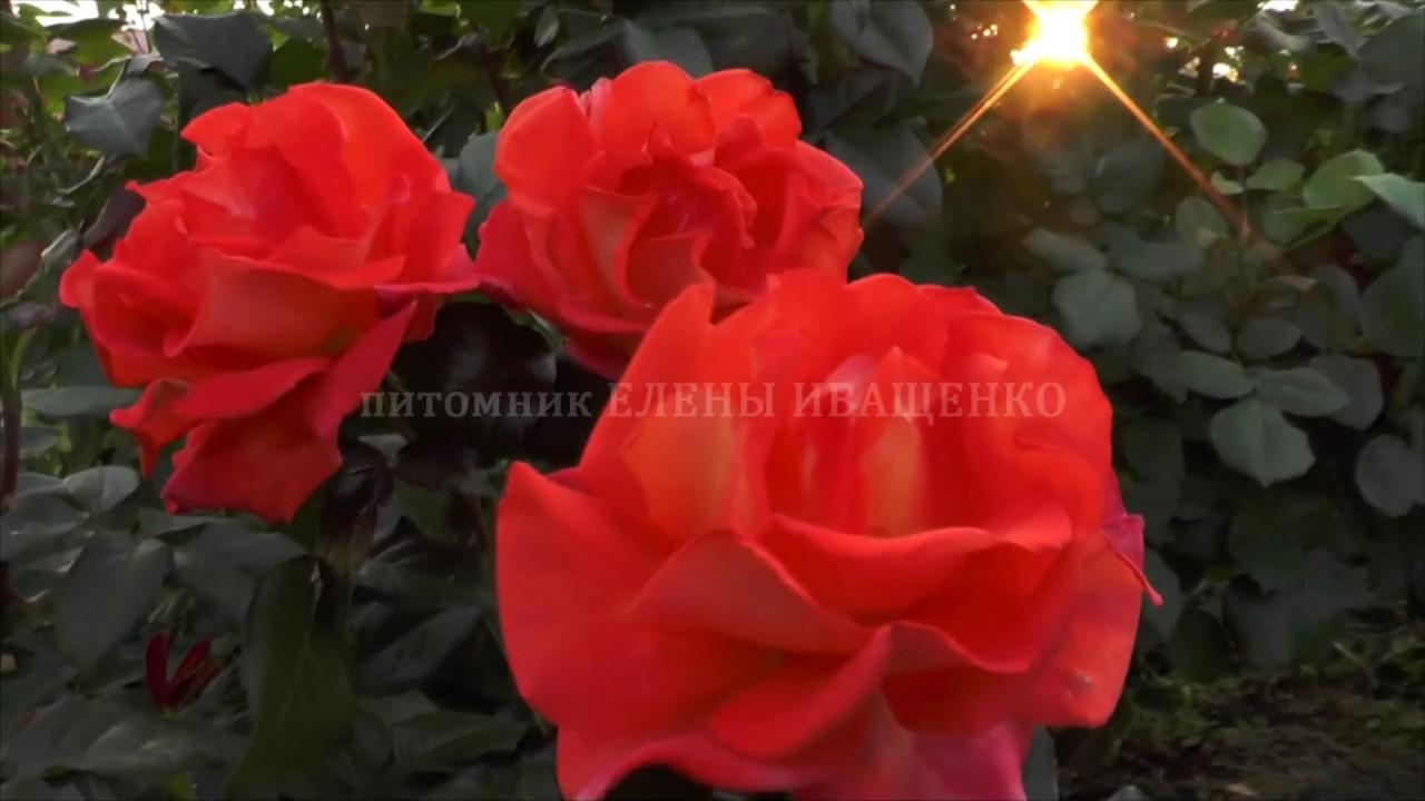 Роза МОНИКА. Наблюдаем за цветением. Елена Иващенко