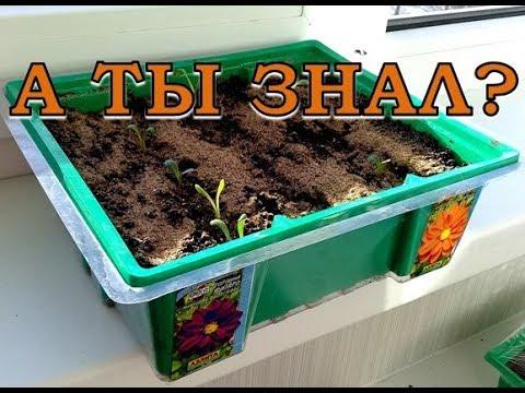 ГЕОРГИНЫ: выращиваем из семян
