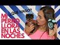 Qué hacer si mi cachorro llora en las noches - Tips by Natalia Ospina