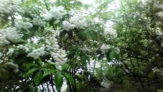 Spring Mountain Laurel Bloom