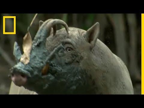 Combats de babiroussas dans la jungle indonésienne !