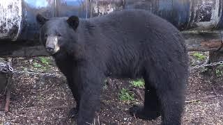 25  HUGE BEARS SHOT COMPILATION