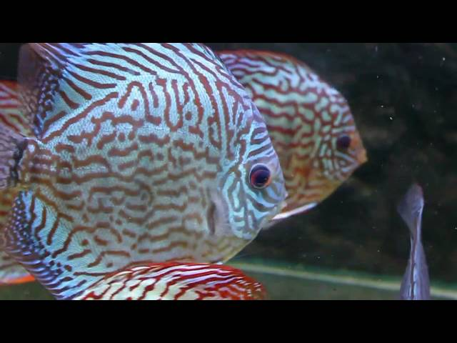 Discus Fish Varieties from Sydney Discus World Aquariums  HD Discus Fish Tank Tropical Fish