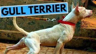 Gull Terrier Dog Breed - Facts and Information