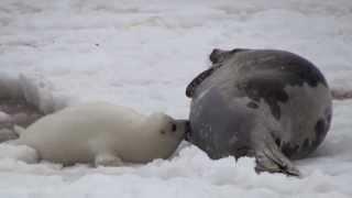 bébés phoques : premiers bains
