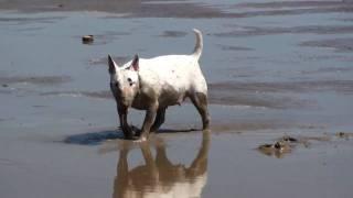 Бультерьер на отдыхе / Bull terrier relax