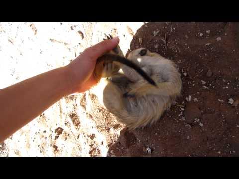 Who Knew Meerkats Were Ticklish?
