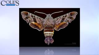 Facts About The Hummingbird Moth