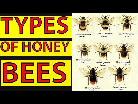 , title : 'Different Types Of Honey Bees - Species and Characteristics