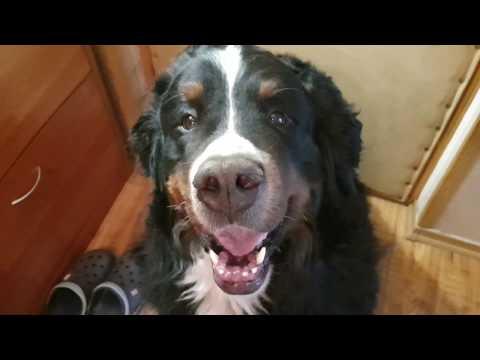 Мокнущая экзема у собаки. Как и чем лечить