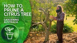 How to Prune a Citrus Tree | Citrus | Gardening Australia