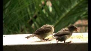 A Sparrow Family - Una Famiglia Di Passerotti (High Quality)