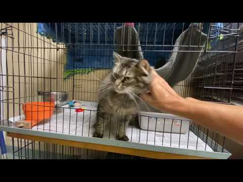 Smokey, an adoptable Domestic Medium Hair & Domestic Short Hair Mix in Kittanning, PA_image-1