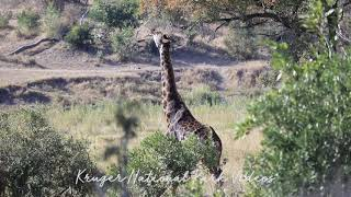 Giraffe Picking Leaves from a Tree at Kruger National Wildlife Park South Africa.