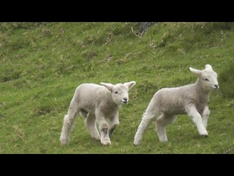 Crazy Cute Baby Lamb Playing And Jumping Have a Lot Of Fun .