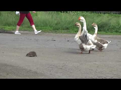 Hedgehog Escorted Across the Road by Geese
