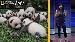 Photographing Pandas And Their Return To The Wild  Nat Geo Live