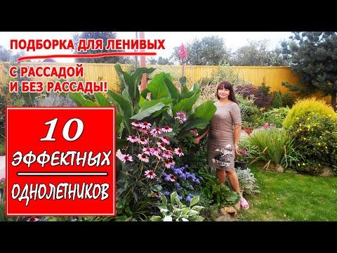 ОДНОЛЕТНИЕ ЦВЕТЫ для дачи. 10 простых и эффектных растений. ПОДБОРКА ДЛЯ ЛЕНИВЫХ!