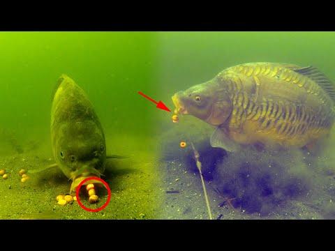 Når karpen tager boilien - undervandsoptagelse