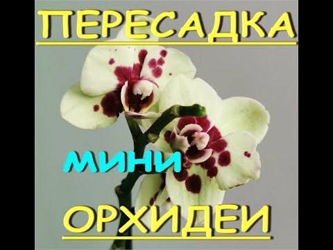 """ПЕРЕСАДКА орхидеи МИНИ.Мини орхидея из """"Леруа"""" - салатовая в бордовый крап."""