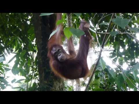 Rencontre avec un orang-outan avec Esprit d'Aventure