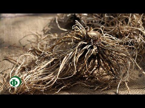 377 Травы для домашней аптечки – варим корни валерианы