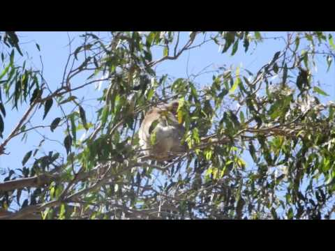Just hanging around Koala Gardens