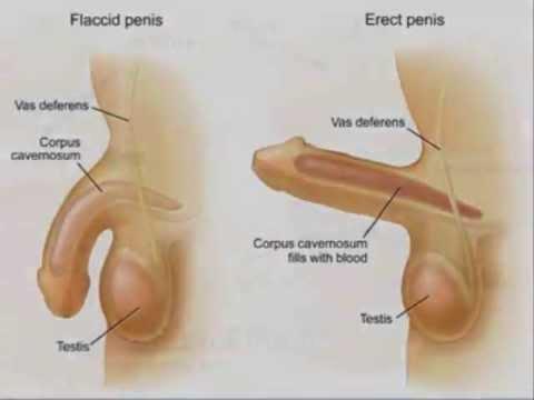 Pembesaran penis dan potensi