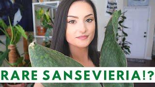 MY SANSEVIERIA COLLECTION   RARE SANSEVIERIA   Houseplant Collection   Rare Houseplants