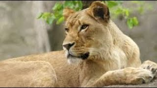 Residents live in fear as stray Lioness on the loose in Kitui Central