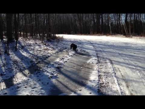 Bernese Mountain Dog Puppy Slips on Ice