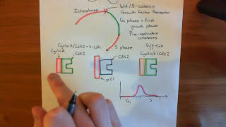 The Transforming Growth Factor Beta Pathway Part 4
