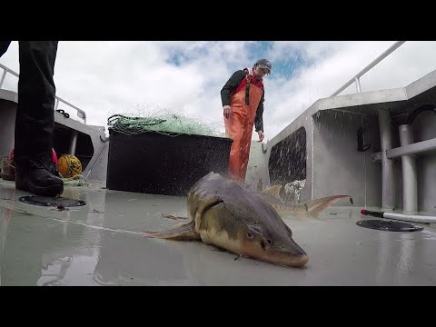 Some of Americas sturgeon species and subspecies are making a comeback after they were nearly wiped out by pollution, dam construction and a caviar rush. (June 10)
