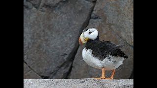 Horned Puffin | Horned Puffin Sounds | Horned Puffin Facts