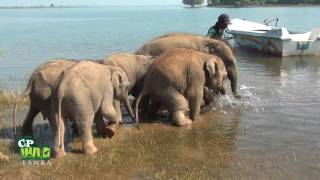 Baby  Elephants Bathing At Eth Athuru Sevana  ! (The First Elephant Transit Home In Asia )