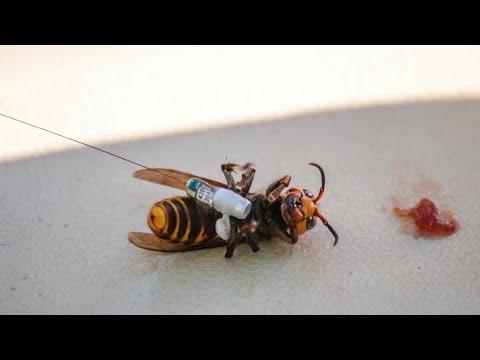 First 'murder hornet' nest eradicated in U.S.