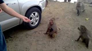 preview picture of video 'Feeding the Taif Monkeys'