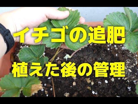, title : 'いちごの追肥のやり方!苺の苗を植えてから一ヶ月後の管理方法