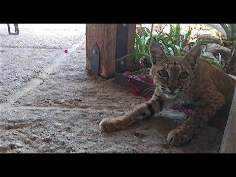 Bobcat in Yard Outside Tucson Arizona