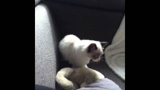 Mauws als kitten lekker kroelen en spinnen