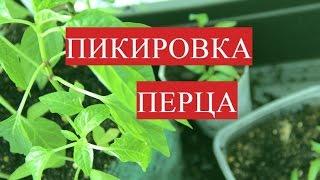 Пикировка Перца. Выращивание Перца без Пикировки. (25.03.2017).