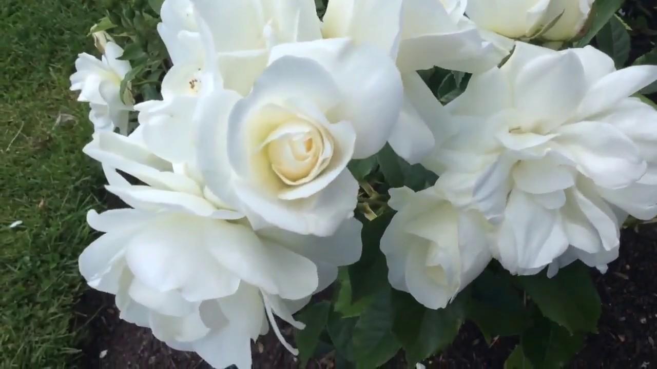 Rose Schneewittchen (Шнеевитхен Роза)