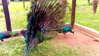 Green peafowl displaying!