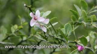 Australian Finger Lime growing in Miami Dade Florida