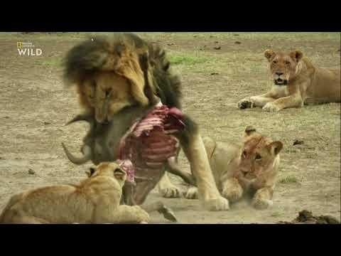 Нат Гео Вилд: Дикие охотники 1 серия - Кошки 2019