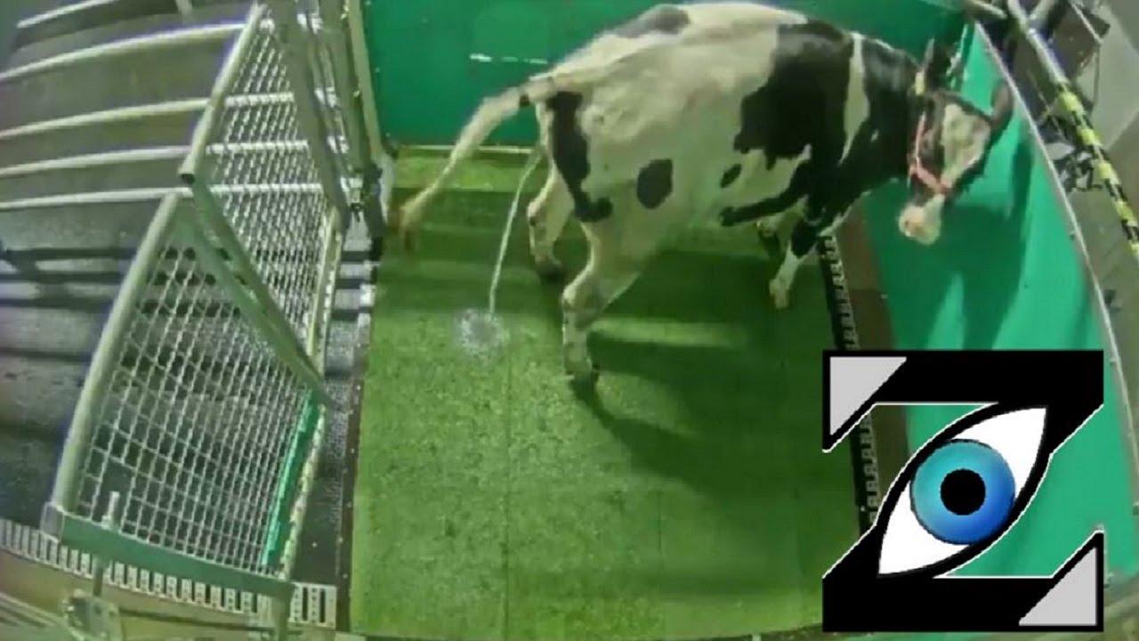 [Zap Net] Des vaches dressées à uriner aux toilettes ! (16/09/21)