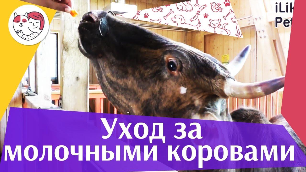 3 ошибки при уходе за молочными породами коров на ilikepet
