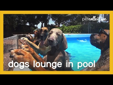 Dogs Lounge in Pool