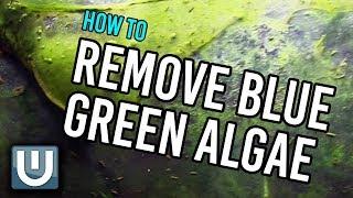 Remove Blue Green Algae from your Aquarium | How To