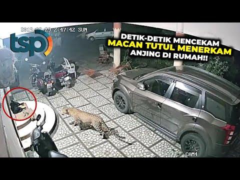 Macan Tutul Ini Memasuki Perumahan Penduduk dan Memburu Anjing Pemilik Rumah